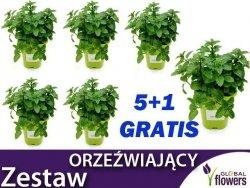 5+1 GRATIS ! ZESTAW ORZEŹWIAJĄCY Mięta x 5 + Lippia Gratis (Sadzonki C1)