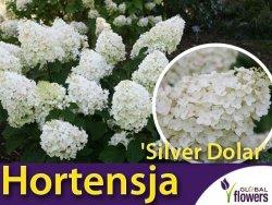 Hortensja Bukietowa SILVER DOLAR (Hydrangea paniculata) Sadzonka C3