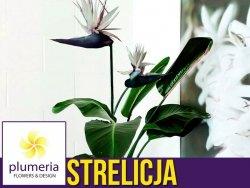 Strelicja biała NICOLAI (Strelitzia nicolai) Roślina domowa. Sadzonka P17 - XL