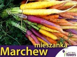 Marchew wielobarwna , mieszanka  (Daucus carota) 2g LUX