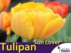 Tulipan Pełny 'Sun Lover' (Tulipa) CEBULKI 5 szt