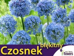 Czosnek błękitny (Allium caeruleum) CEBULKI