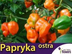 Papryka Chili HABANERO ORANGE (Capsicum annuum) nasiona 0,15g