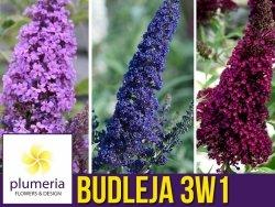 Budleja karłowa 3w1 BUZZ® 3 kolory  (Buddleja) Sadzonka C3