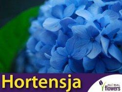 Hortensja ogrodowa NIKKO BLUE (Hydrangea macrophylla) sadzonka C3
