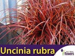 Uncinia rubra 'Everflame' Sadzonka