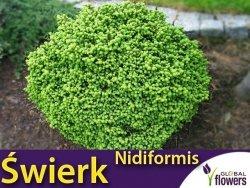 Świerk pospolity 'Nidiformis' (Picea abies) Sadzonka
