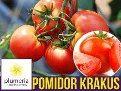 Pomidor gruntowy wysoki KRAKUS (Lycopersicon Esculentum) nasiona 0,5g