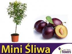 DRZEWKO OWOCOWE Mini Śliwa Robusto® (Prunus) Sadzonka C3,5
