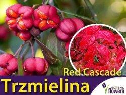 Trzmielina europejska RED CASCADE (Euonymus europaeus) Sadzonka C2