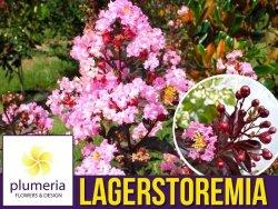 Lagerstroemia RHAPSODY IN PINK 'Whit VIIIB' kwitnie 120 dni (Lagerstroemia indica) Sadzonka C1