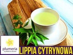 Lippia trójlistna (Aloysia citrodora) Werbena cytrynowa Sadzonka C1 OUTLET