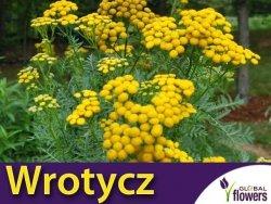 Wrotycz pospolity (Tanacetum vulgare) Sadzonka P9