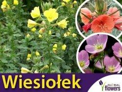 Wiesiołek, mieszanka (Oenothera sp.) nasiona 0,1g