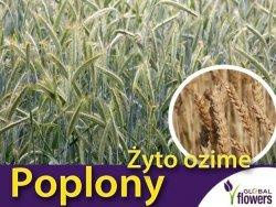 Poplony - Zielony Nawóz Ekologiczny - Żyto Ozime (1000 g)