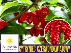 Cytryniec Czerwonokwiatowy żeński (Schisandra rubriflora) 3letnia Sadzonka