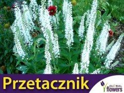 Przetacznik kłosowy (Veronica spicata) Alba kłącza 1 szt
