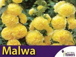 Malwa pełna (Alcea rosea) Golden Yellow KŁĄCZA 1 szt