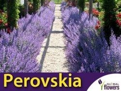 Perovskia LITTLE SPIRE (Perovskia atriplicifolia) Sadzonka P9