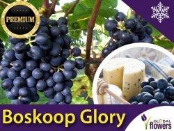 Winorośl 'Boskoop Glory' odmiana przerobowa (Vitis) Sadzonka C2