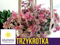 Trzykrotka TRICOLOR (Tradescantia fluminensis) Roślina domowa. Sadzonka P8 - S