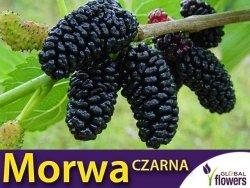 Morwa FULL SEASONS (Morus) 3 letnia Sadzonka C2