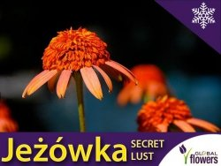 Jeżówka Sadzonki ' Secret Lust ' (Echinacea)