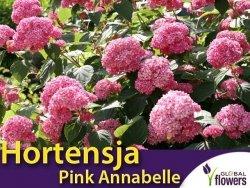 Hortensja drzewiasta 'Pink Annabelle SPIRIT' (Hydrangea arborescens) Sadzonka XL- C5