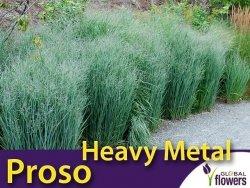 Proso rózgowate HEAVY METAL (Panicum virgatum) Sadzonka C1