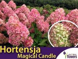 Hortensja bukietowa 'Magical Candle ®' (Hydrangea paniculata) sadzonka