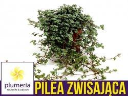 Pilea zwisająca GREYZY (Pilea glaucophylla) Roślina domowa. Sadzonka P11/12 - M