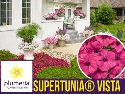 Supertunia® VISTA 'Fuschia'  różowa Sadzonka P12 x 4 szt.