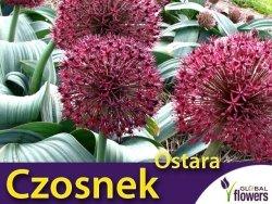 Czosnek 'Ostara' (Allium Ostara) CEBULKA 1 szt
