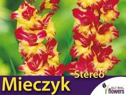 Mieczyk wielokwiatowy 'Stereo' (Gladiolus) Cebulki 5 szt.