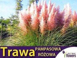Trawa Pampasowa RÓŻOWA (Cortaderia selloana Rosea) Sadzonka C1/C2