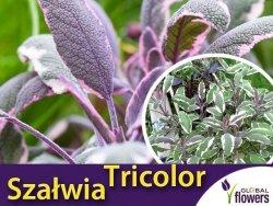 Szałwia Lekarska TRICOLOR (Salvia officinalis) Sadzonka