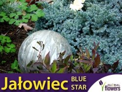 Jałowiec łuskowaty 'Blue Star' (Juniperus squamata) Sadzonka
