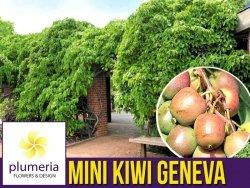 Mini Kiwi GENEVA ♀ (Aktinidia ostrolistna) Sadzonka C1