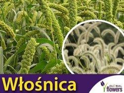 Włośnica wielkokłosowa zielona (Setaria macrostachya) nasiona 2g