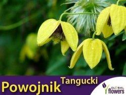 Powojnik Tangucki  (Clematis tangutica) nasiona 0,1g