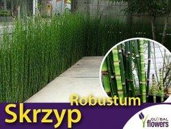 Skrzyp zimowy 'Robustum' (Equisetum hyemale)  Sadzonka
