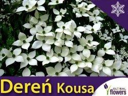 Dereń kousa odmiana chińska (Cornus kousa var. chinensis) nasiona