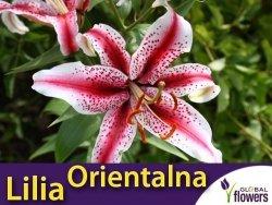 Lilia Orientalna (lilium) Dizzy CEBULKA 1szt.