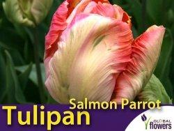 Tulipan Papuzi 'Salmon Parrot' (Tulipa) CEBULKI 4 szt