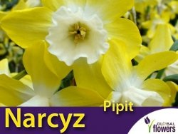 Narcyz Pipit (Narcissus Jonquilla) CEBULKI 5 szt.