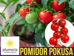 Pomidor CHERRY POKUSA Czereśniowy (Lycopersicon Esculentum) nasiona 0,5+0,1g
