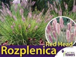 Rozplenica Piórkowa RED HEAD (Pennisetum alopecuroides) Sadzonka C1,5