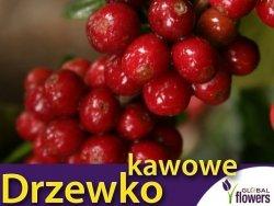 Drzewko kawowe (Coffea arabica) 1,5g