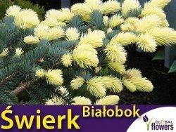 Świerk kłujący 'Białobok' (Picea pungens) sadzonka szczepiona