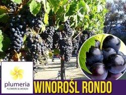 Winorośl RONDO odmiana przerobowa (Vitis) Sadzonka C2